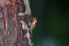 Cicada slough Stock Photography