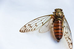 Cicada specimen Stock Image