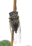 Cicada on a stick. Tibicen Cicada grasping a stick Royalty Free Stock Images