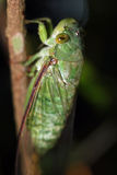 Cicada. Taman Negara National Park, Malaysia Royalty Free Stock Photography
