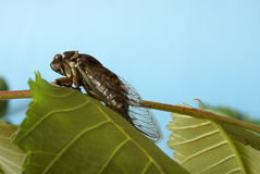 Cicada Tibicen Davisi Royalty Free Stock Image