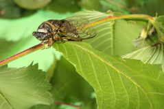 Cicada Tibicen Davisi Royalty Free Stock Photo