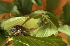 Cicada Tibicen Davisi Royalty Free Stock Images