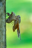 Cicada - the transformation into an adult insect. Stock Image