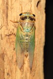 Cicada transformation Royalty Free Stock Photo
