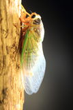 Cicada transformation Stock Photos