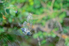 Hopeless cicada. A cicada is trapped by spider`s thread. Scientific name: Graptopsaltria nigrofuscata Stock Photos