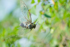 Trapped cicada. A cicada is trapped by spider`s thread. Scientific name: Graptopsaltria nigrofuscata Stock Photography