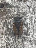 cicada royalty free stock photography