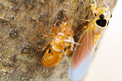 Cicada on tree Royalty Free Stock Image