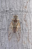 Cicada on the tree Stock Images
