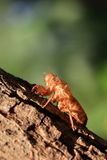Cicada on tree close up. Royalty Free Stock Photos