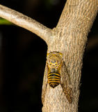 Cicada on tree Royalty Free Stock Photos