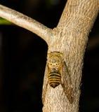 Cicada on tree Royalty Free Stock Photos