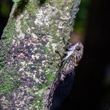Cicada on tree Stock Photography