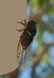 Cicada or tree-cricket Stock Images