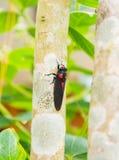 Cicada on tree. Cicada holding on a tree Royalty Free Stock Photography