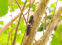 Cicada on tree Royalty Free Stock Photography