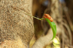 Cicada on the tree in the nature. Cicada on the tree in the nature Stock Photos