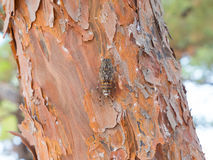 Cicada on tree Stock Images