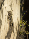 Cicada on a tree - Summer in the south of France Royalty Free Stock Photo