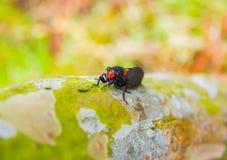 Cicada on tree Royalty Free Stock Photo
