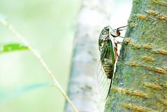Cicada on tree trunk stock image