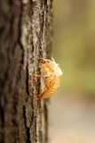 Cicada on a tree trunk Royalty Free Stock Photography