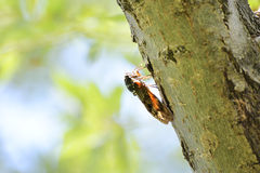 Cicada on a tree trunk. Royalty Free Stock Photo