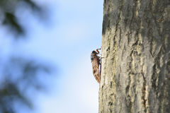 Cicada on a tree trunk Stock Image