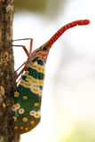 Cicada trunk. Royalty Free Stock Photography