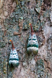 Cicada trunk on tree Stock Photography