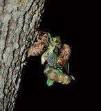 Cicada Twins Stock Image