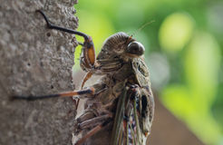 Cicada on wall close up. Big Cicada on grey wall close up Royalty Free Stock Photo