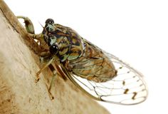 Cicada on white. A periodical cicada on white Royalty Free Stock Photography