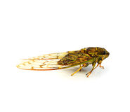 Cicada Stock Photos