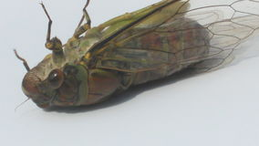 Cicada on a white background stock video footage