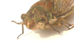 Cicada on a white background stock footage