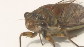 Cicada on a white background stock video
