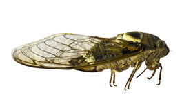 Cicada on a white background. cicada isolated. cicada insect Royalty Free Stock Photos