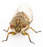 Cicada  on white background Royalty Free Stock Image