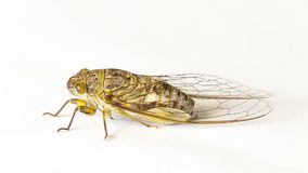 Cicada on a white background Royalty Free Stock Photography