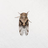 Cicada on white screen Stock Image