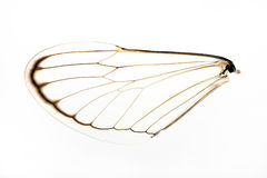 Cicada Wing Royalty Free Stock Photo