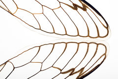 Cicada Wing. Extreme macro close up of Cicada insect wings on white background Royalty Free Stock Photography