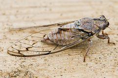 Cicada on wood. With sand Royalty Free Stock Photos