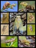 Cicadas φωτογραφιών μωσαϊκών Στοκ εικόνες με δικαίωμα ελεύθερης χρήσης
