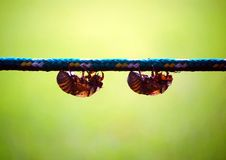 Cicadas Royalty Free Stock Photos