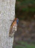Cicadas Στοκ Εικόνες