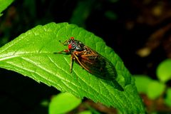 Cicadas B Royalty Free Stock Photography